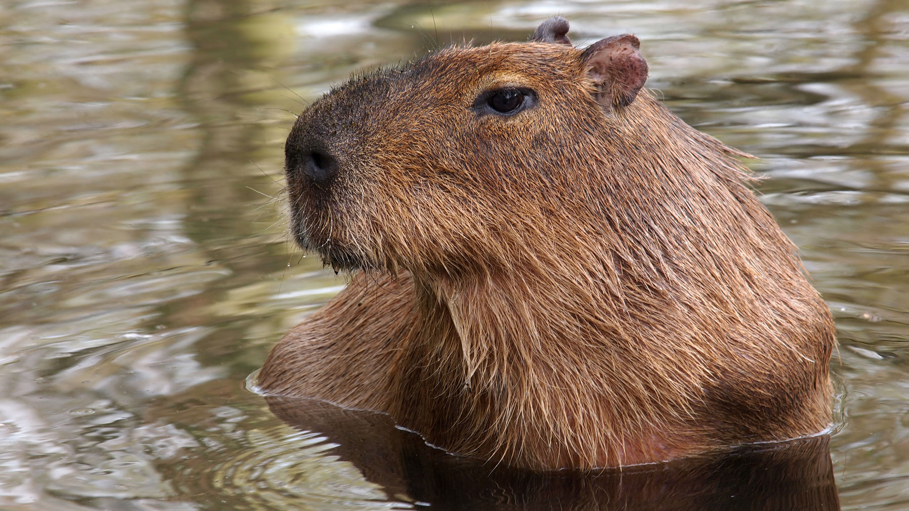 Capybaras are easily recognized because of their peculiar body shape and adorable coloration.