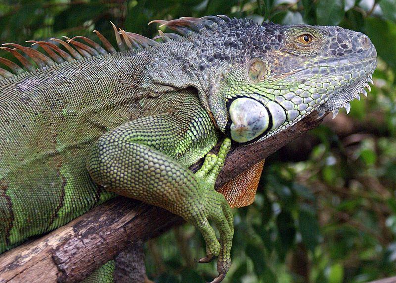 The Green Iguana is a herbivore and reptile that captivates people around the world.