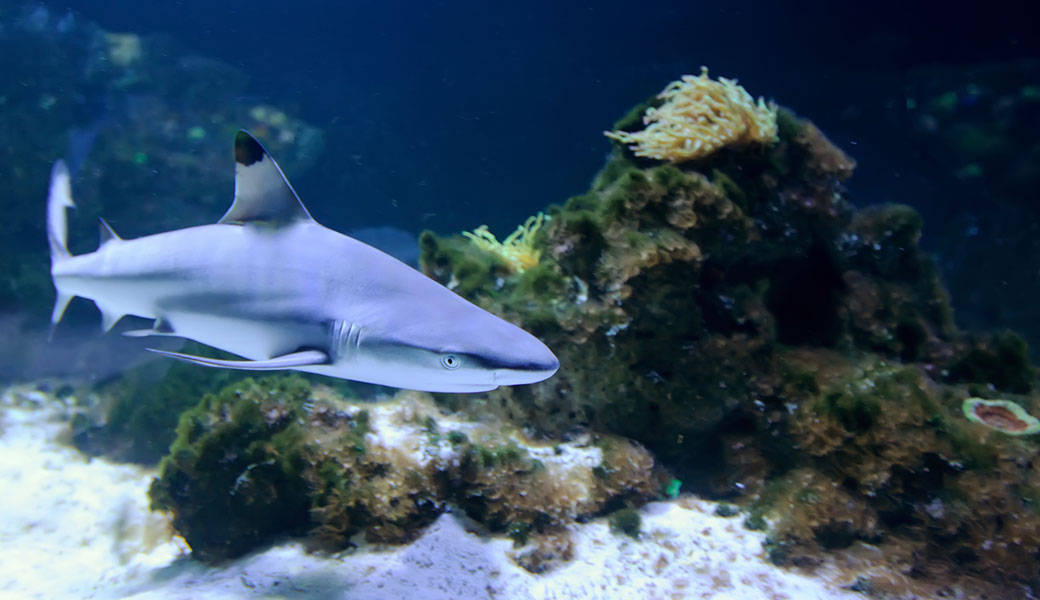 The blacktip reef shark is one of the most common reef sharks.
